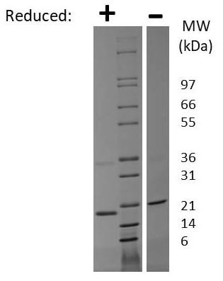SDS-PAGE - Recombinant Human PTN protein (ab269171)