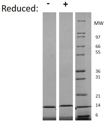 SDS-PAGE - Recombinant human IL-3 protein (Active) (ab269172)