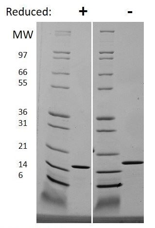 SDS-PAGE - Recombinant Human IL-19 protein (ab269175)