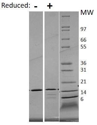 SDS-PAGE - Recombinant human IL-21 protein (Active) (ab269176)