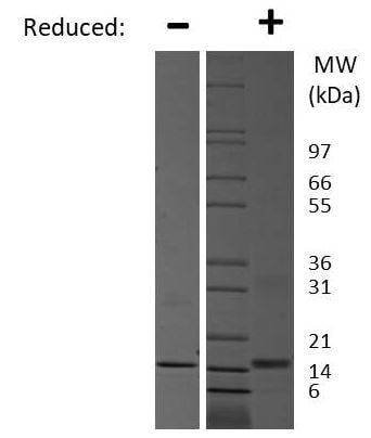 SDS-PAGE - Recombinant mouse IL-7 protein (Active) (ab269178)
