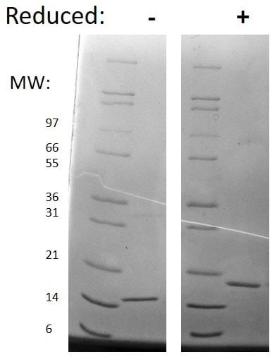 SDS-PAGE - Recombinant mouse SCF protein (Active) (ab269179)