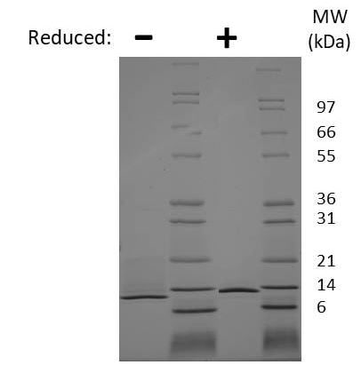 SDS-PAGE - Recombinant mouse NGF protein (Active) (ab269181)