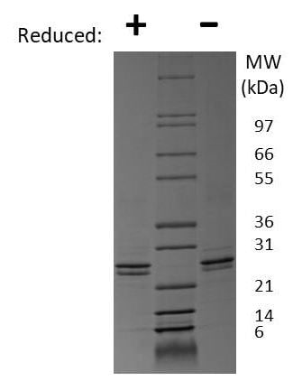 SDS-PAGE - Recombinant mouse FGF9 protein (Active) (ab269182)