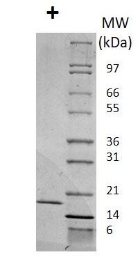 SDS-PAGE - Recombinant mouse IL-2 protein (Active) (ab269183)