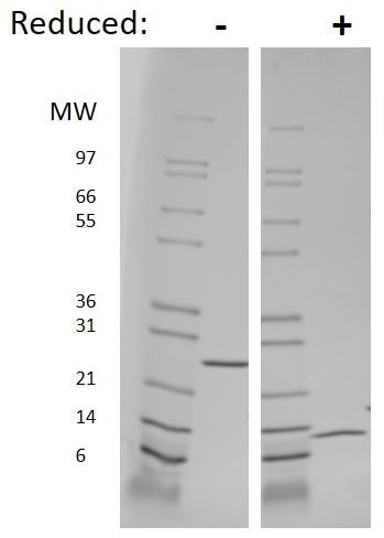 SDS-PAGE - Recombinant mouse IL-5 protein (Active) (ab269185)