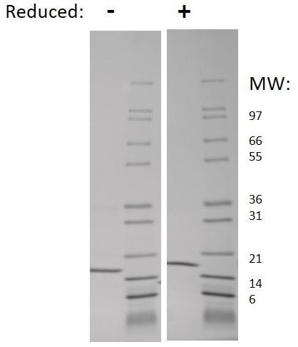 SDS-PAGE - Recombinant mouse TNF alpha protein (Active) (ab269186)