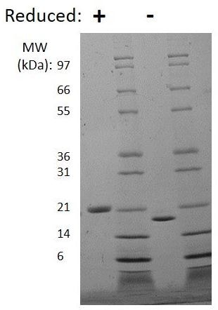 SDS-PAGE - Recombinant mouse LIF protein (Active) (ab269188)