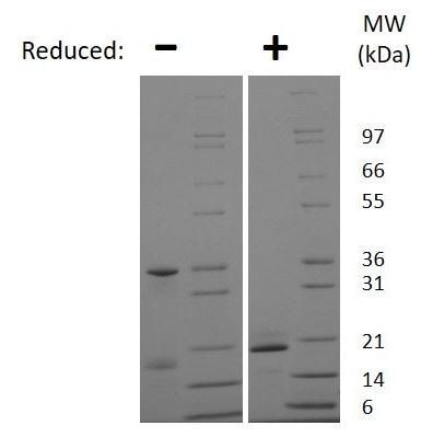 SDS-PAGE - Recombinant Mouse IL-25 protein (ab269189)