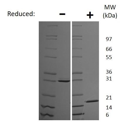 SDS-PAGE - Recombinant mouse IL-17F protein (Active) (ab269190)