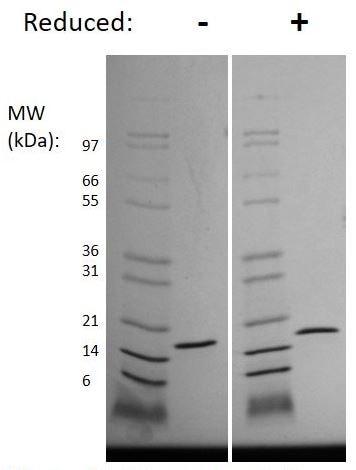 SDS-PAGE - Recombinant Mouse IL36 gamma/IL-1F9 protein (ab269194)