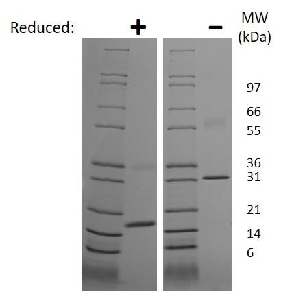 SDS-PAGE - Recombinant rat M-CSF protein (Active) (ab269198)