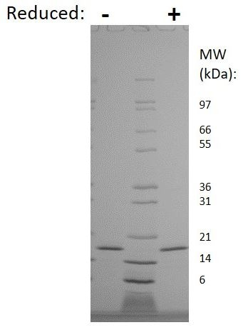 SDS-PAGE - Recombinant Rat IL-10 protein (ab269199)