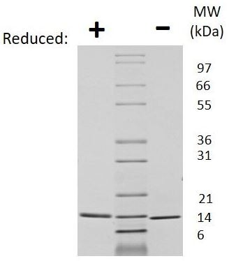 SDS-PAGE - Recombinant Human Neurotrophin 3 protein (ab269204)