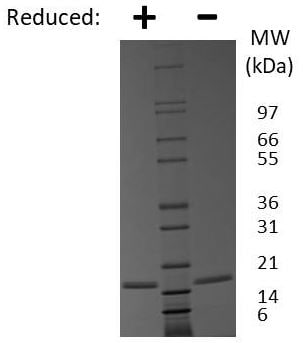 SDS-PAGE - Recombinant mouse FGF1 protein (Active) (ab269206)