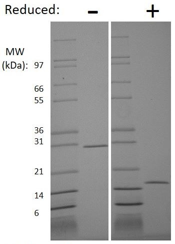 SDS-PAGE - Recombinant human GDNF protein (Active) (ab269209)