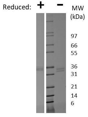 SDS-PAGE - Recombinant Human ITLN1 protein (ab269213)