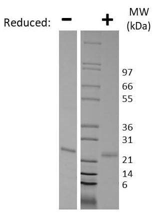 SDS-PAGE - Recombinant human Sonic Hedgehog protein (Active) (ab269215)