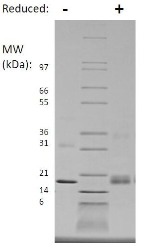 SDS-PAGE - Recombinant human TNF Receptor I protein (Active) (ab269219)