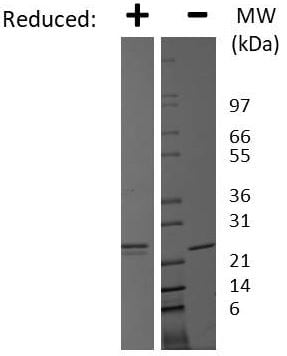 SDS-PAGE - Recombinant human Prolactin/PRL protein (Active) (ab269220)