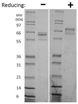 SDS-PAGE - Recombinant Human IL35 protein (ab269221)