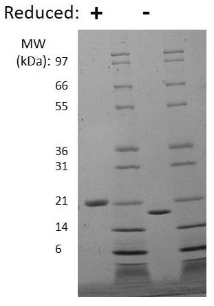 SDS-PAGE - Recombinant mouse LIF protein (Active) (ab269233)