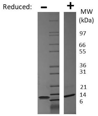 SDS-PAGE - Recombinant Mouse IP10 protein (ab269235)