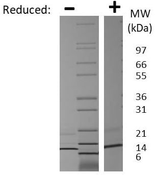 SDS-PAGE - Recombinant Mouse MIP-3 beta/CCL19 protein (ab269236)
