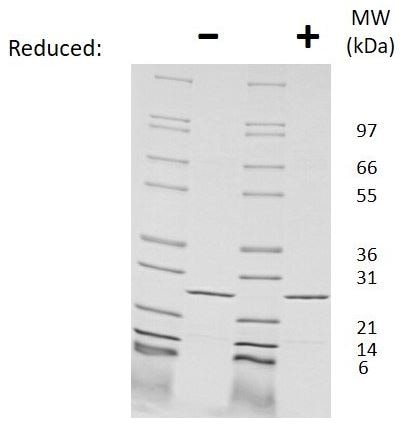 SDS-PAGE - Recombinant Mouse IL-27-A protein (ab269237)