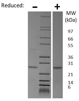 SDS-PAGE - Recombinant Mouse EBI3 protein (ab269239)