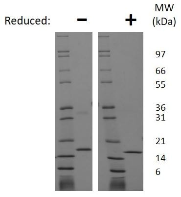 SDS-PAGE - Recombinant rat FGF2 protein (Active) (ab269241)