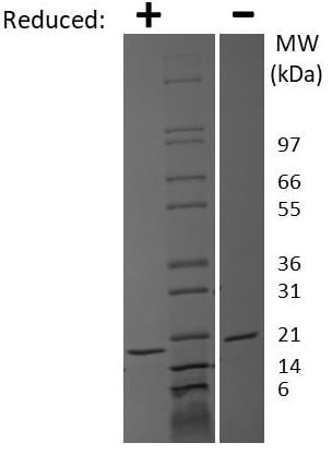 SDS-PAGE - Recombinant rat IL-1 beta protein (Active) (ab269245)