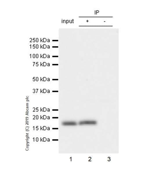 Immunoprecipitation - Anti-IL36 alpha/IL-1F6 antibody [EPR23089-87] (ab269271)