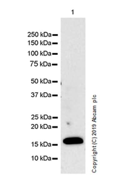 Western blot - Anti-IL36 alpha/IL-1F6 antibody [EPR23089-87] (ab269271)