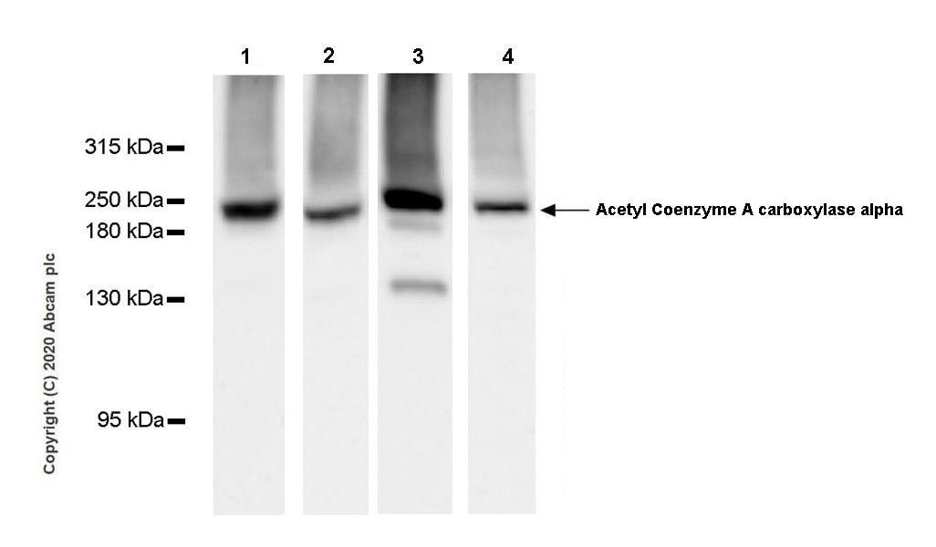 Western blot - Anti-Acetyl Coenzyme A carboxylase alpha antibody [EPR23235-47] (ab269272)
