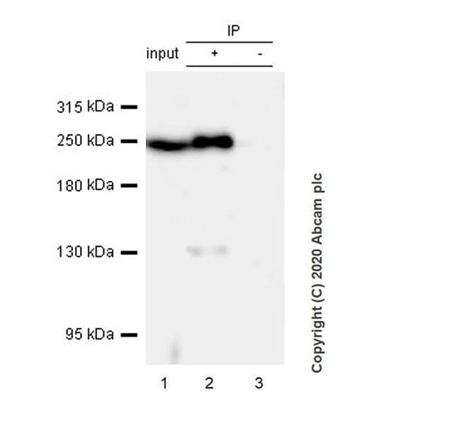 Immunoprecipitation - Anti-Acetyl Coenzyme A carboxylase alpha antibody [EPR23235-147] (ab269273)