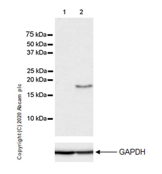 Western blot - Anti-IL36 alpha/IL-1F6 antibody [EPR23152-241] (ab269274)