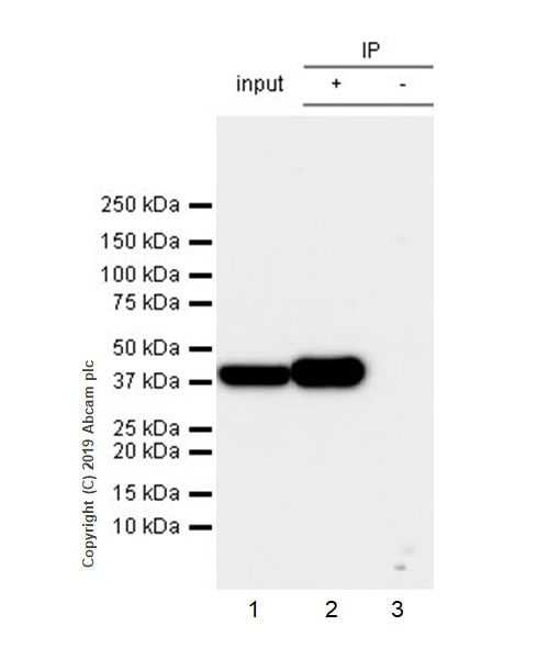 Immunoprecipitation - Anti-SerpinB2/PAI-2 antibody [EPR22924-49] (ab269275)