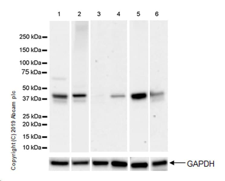 Western blot - Anti-SerpinB2/PAI-2 antibody [EPR22924-49] (ab269275)