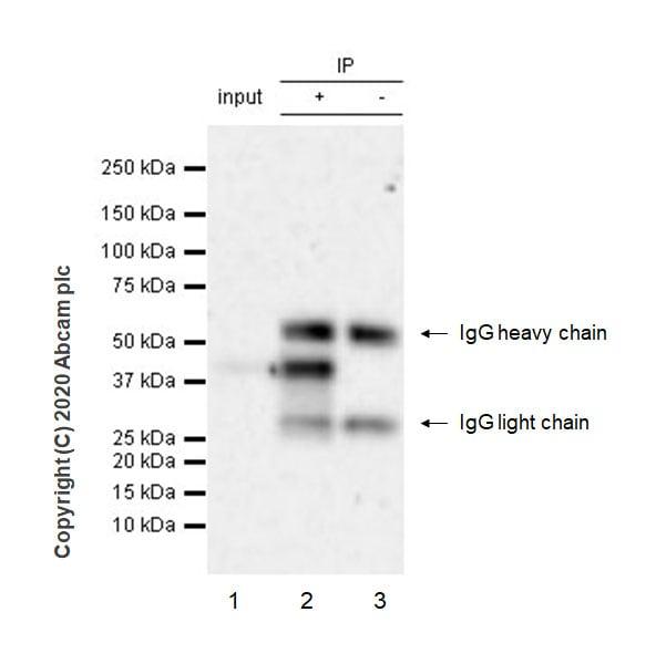 Immunoprecipitation - Anti-Wnt16 antibody [EPR22889-129] (ab269278)