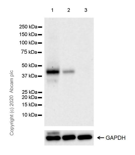Western blot - Anti-Wnt16 antibody [EPR22889-129] (ab269278)