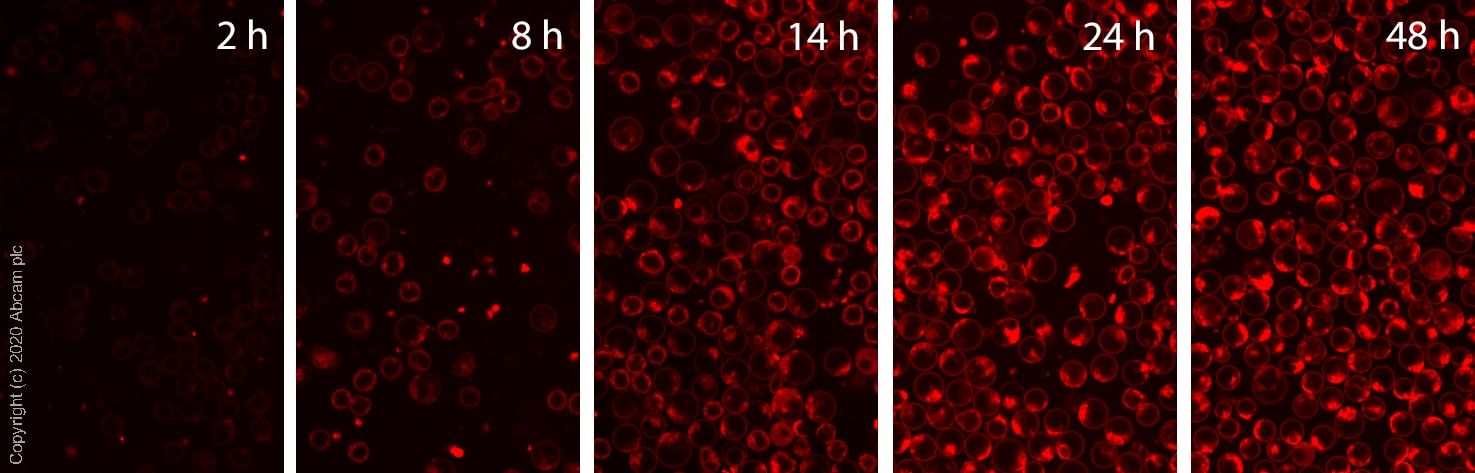 Fluorescent Cell Imaging - BODIPY TR Ceramide Golgi Staining Kit - Ready-to-use solution (ab269449)