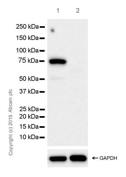 Western blot - Anti-CD33 antibody [EPR23051-101] (ab269456)