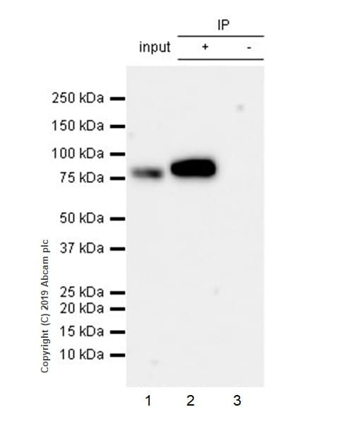Immunoprecipitation - Anti-DGKA antibody [EPR23176-101] - BSA and Azide free (ab269459)