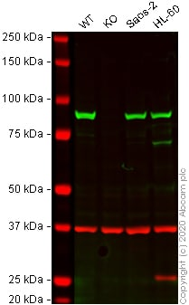 Western blot - Human HSP90AB1 (Hsp90 beta) knockout A-431 cell line (ab269491)