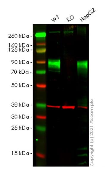 免疫印迹-人TGOLN2(TGN46)敲除A549细胞系(ab269510)