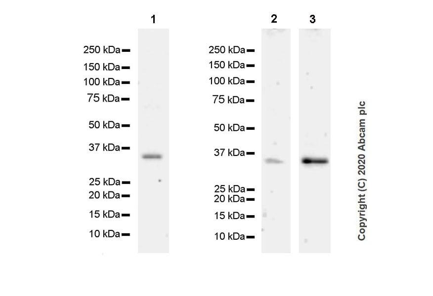 Western blot - Anti-Annexin-2/ANXA2 antibody [D1/274.5] - BSA and Azide free (ab269512)