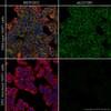 Immunocytochemistry/ Immunofluorescence - Anti-Src antibody [GD11] - BSA and Azide free (ab269563)