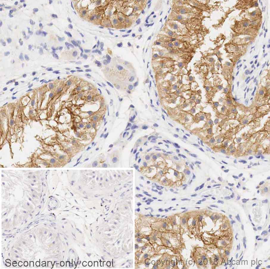 Immunohistochemistry (Formalin/PFA-fixed paraffin-embedded sections) - Anti-Src antibody [GD11] - BSA and Azide free (ab269563)