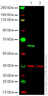 Western blot - Anti-Lamin B Receptor/LBR antibody [BBmLBR 12.F8] - BSA and Azide free (ab269576)